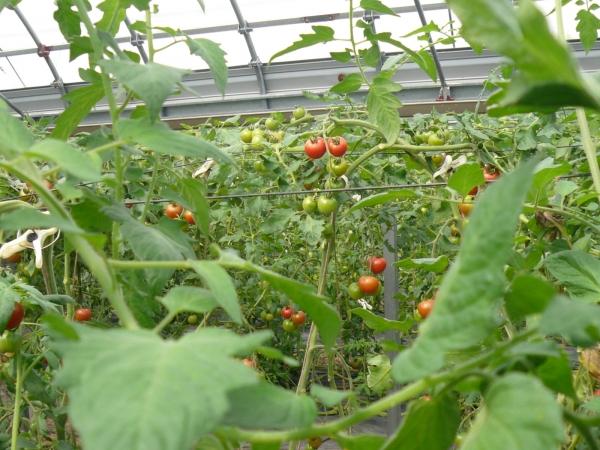 11 tomatoes la t te l 39 est - Dormir la tete a l est ...